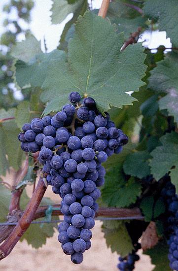 Monastrell druerne - Se den smukke Monastrelldrue