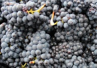 Her kan du læse lidt om de forskellige druer.