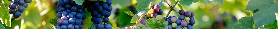 Rødvins druer