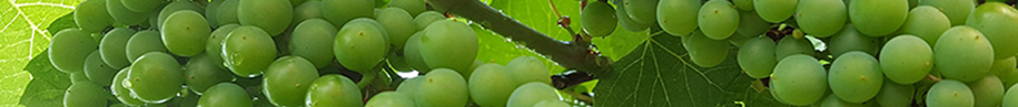 Grønne vindruer til hvidvin